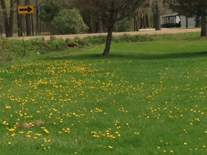 Weedy Lawn or Beautiful Field of Flowers?