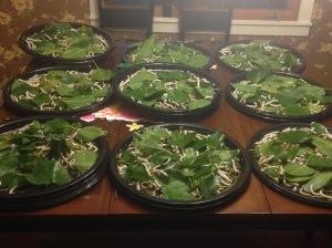 100 caterpillars per tray